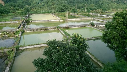 湖南黑斑蛙养殖公司告诉你泥鳅养殖技术的注意事项