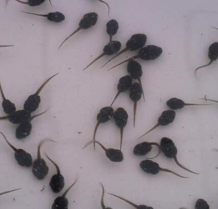 四川黑斑蛙蝌蚪养殖