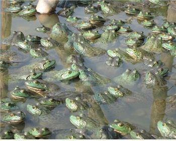 四川美蛙养殖销售