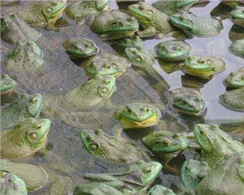 四川美蛙养殖