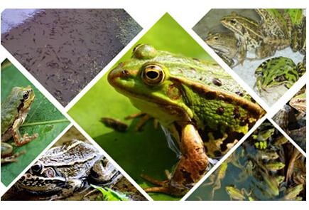 四川美蛙养殖基地