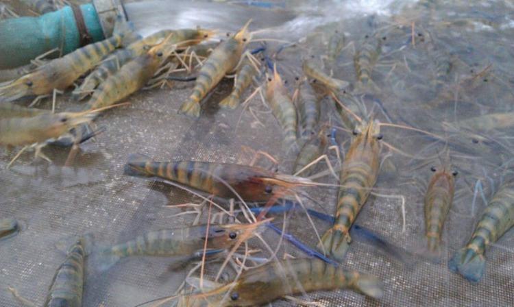 罗氏沼虾的养殖要点