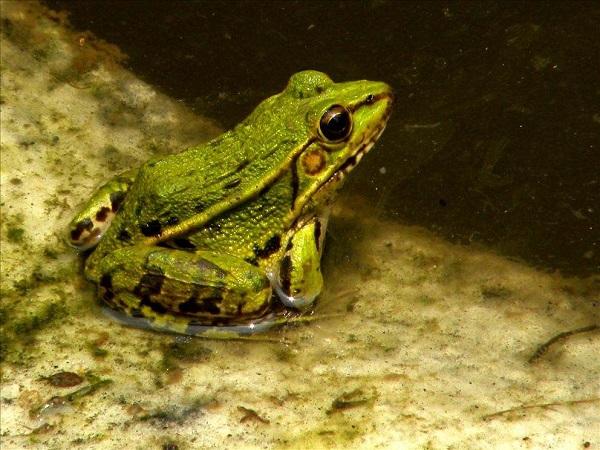 稻田养蛙,蛙池种菜,养蛙收益知多少?