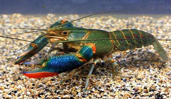 既能观赏,又能食用的龙虾