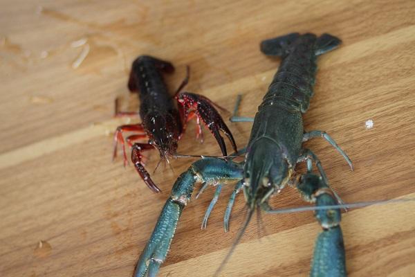 水产新宠,亩利润过万,疯抢的黄金水产项目 ——澳洲淡水龙虾
