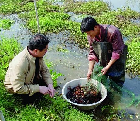 稻田养虾一亩赚2万