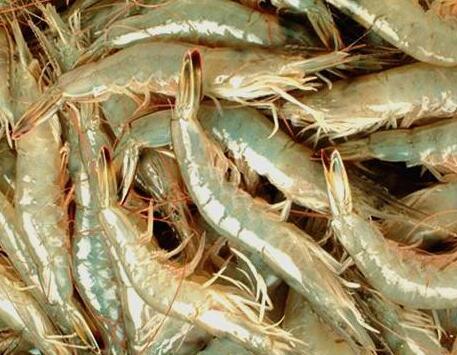 如何对四川虾养殖池塘施肥?