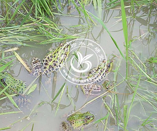 黑斑蛙养殖