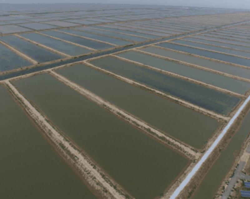 四川虾养殖知识:水泥池如何培育虾