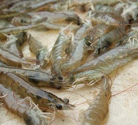 四川虾养殖资讯:关于小龙虾养殖池的选择与改造