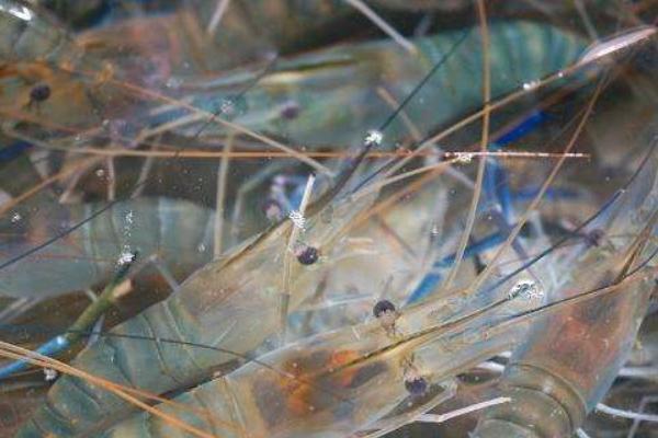 四川虾养殖概述