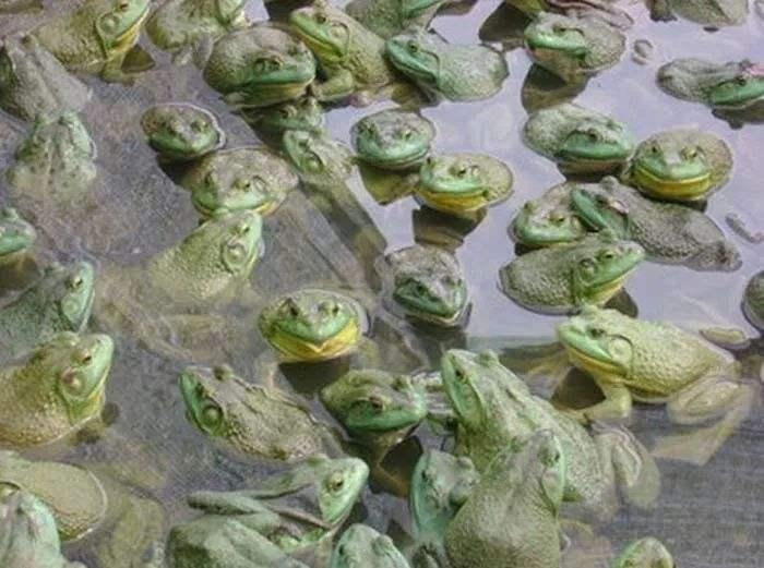 四川美蛙养殖的注意事项