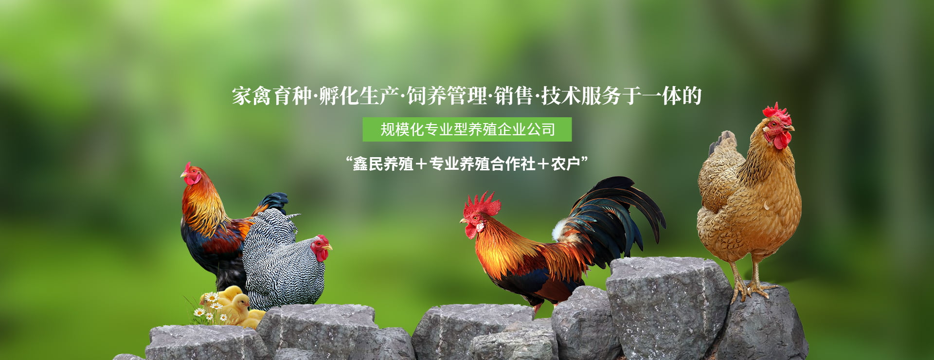 四川跑山鸡