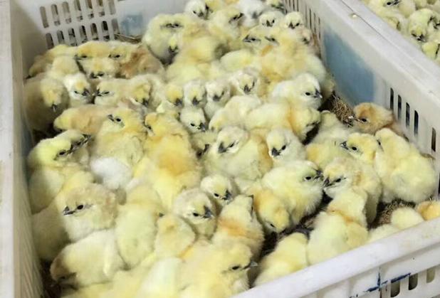 广汉土鸡苗养殖