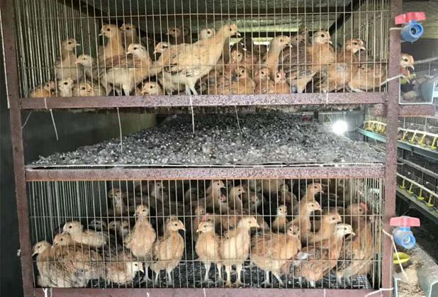 广汉淮南王母鸡