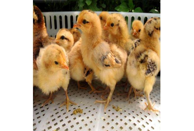 现在入手四川跑山鸡到底有市场吗?