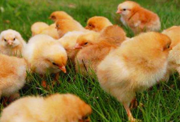养鸡户如何挑选好四川鸡苗,需要掌握这几点