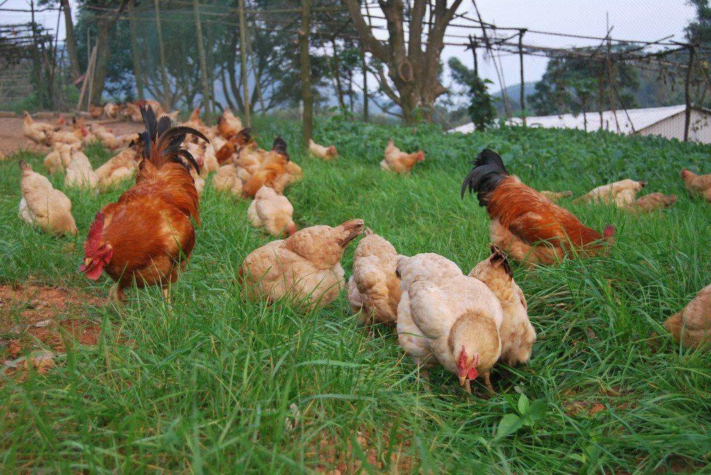 土鸡怎么养?快进来学习散养土鸡养殖技术!