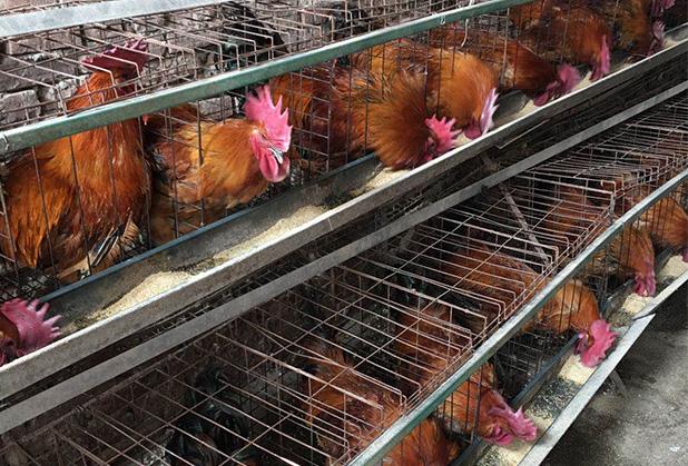鑫民养殖为端分享散养土鸡养殖技术要点