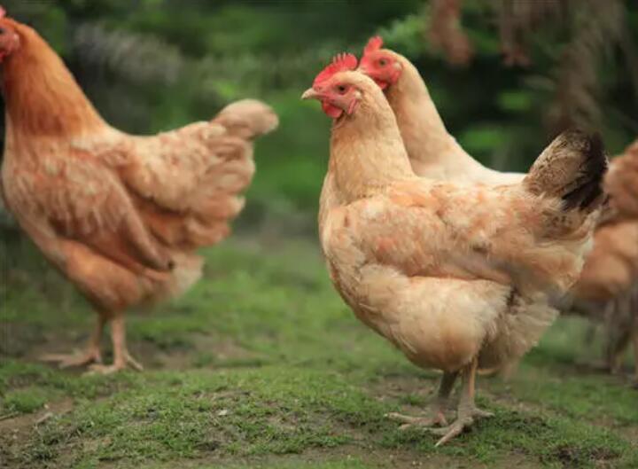如何提高土鸡养殖的成活率?