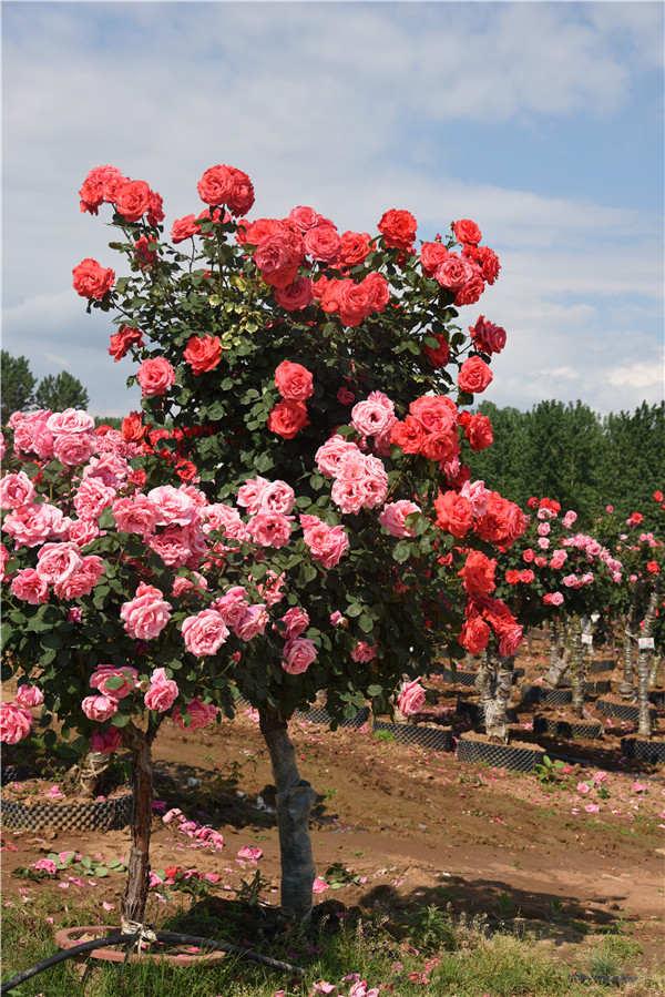 南阳8-9公分月季树