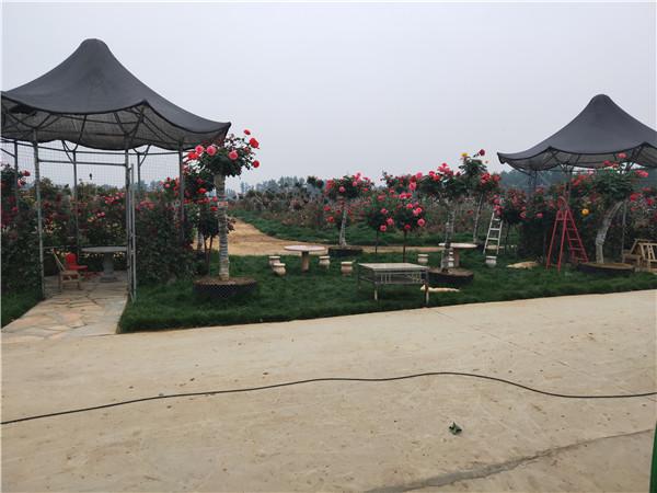 河南大型古桩月季基地展示