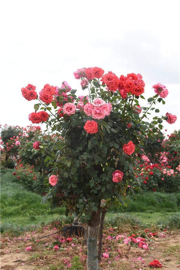 8-9公分月季树