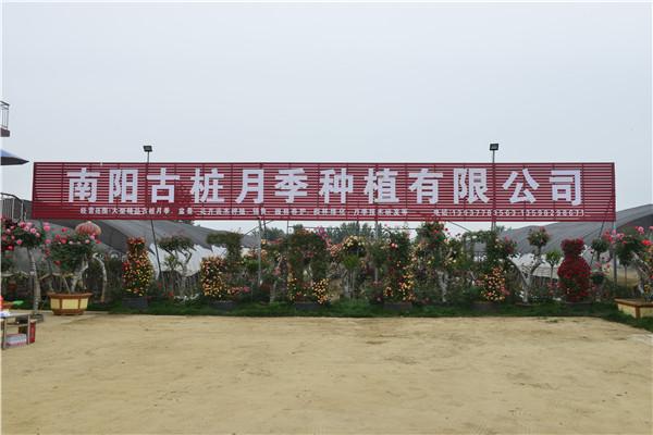 南阳古桩月季种植有限公司