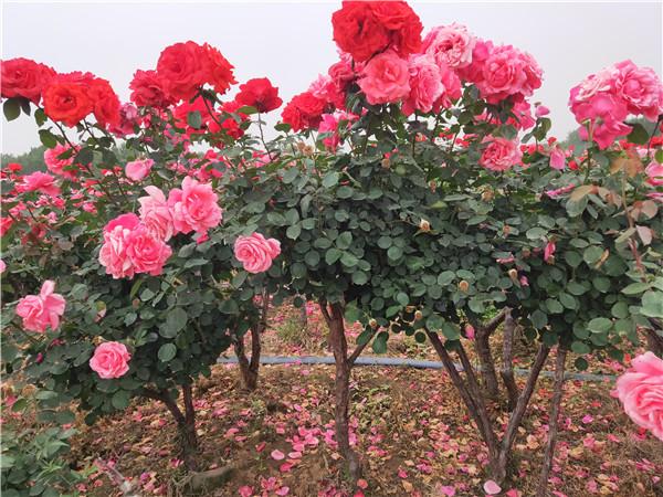古桩盆景月季种植的时候要注意以下这些,可以防治月季花叶病