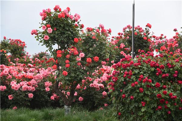月季开花之所以能延长很长一段时间是因为开花时期的重要管理做的好