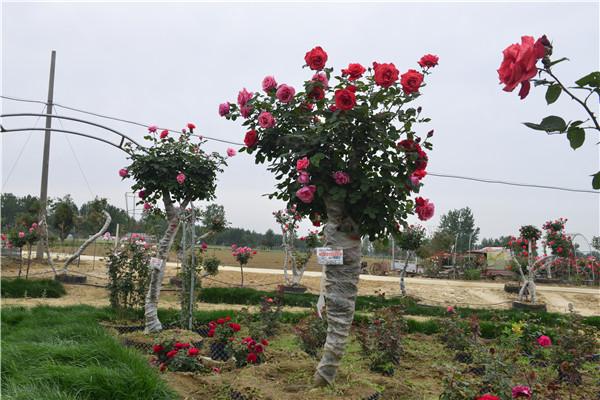 南阳古桩月季培育的新品种树状月季关键技术要点原来都有这些