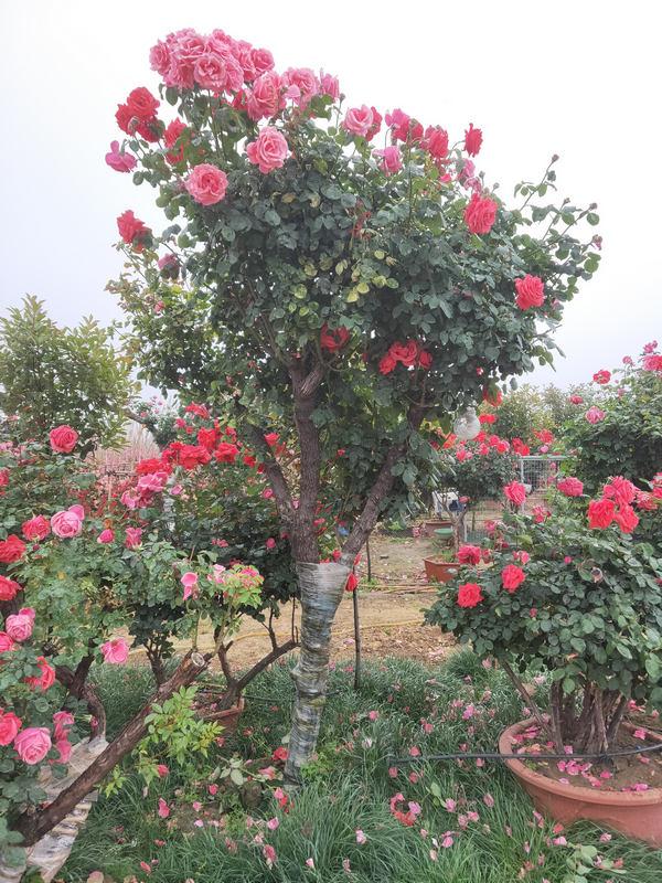南阳10-15公分月季树