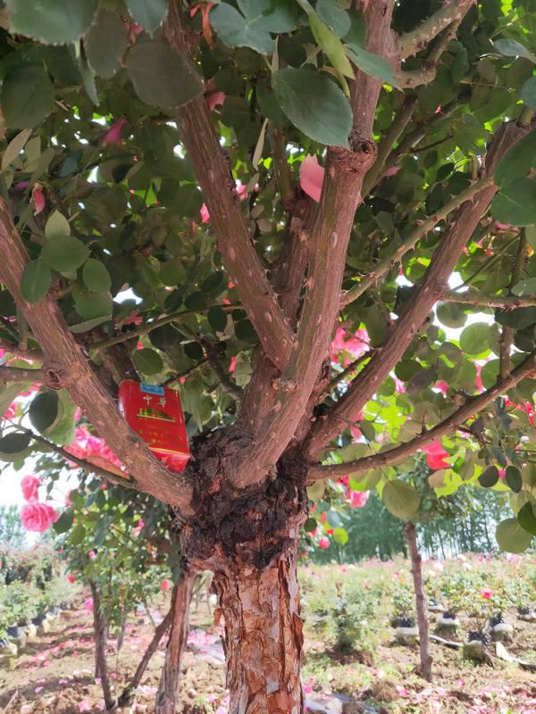 南阳6-7公分月季树