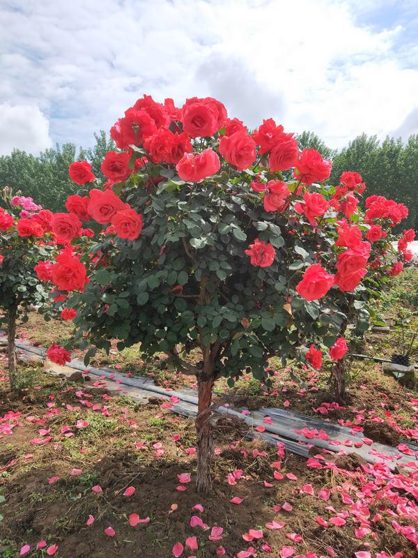 河南4-5公分月季树