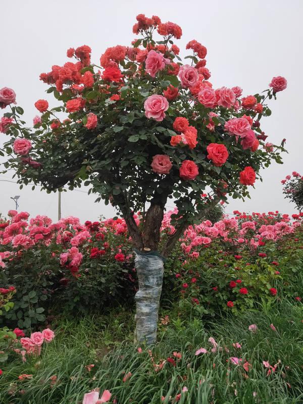 10-15公分月季树