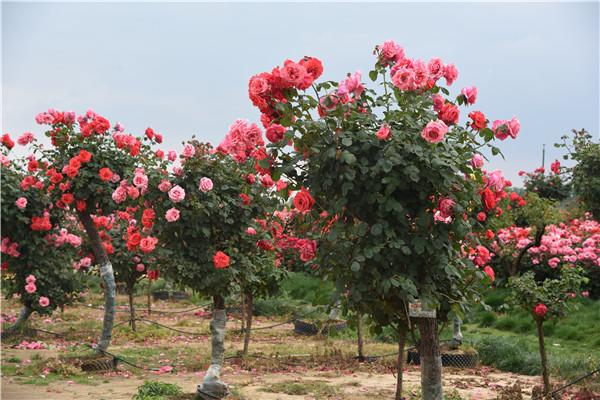 几点解释古桩月季树为什么会开花少?怎么解决呢