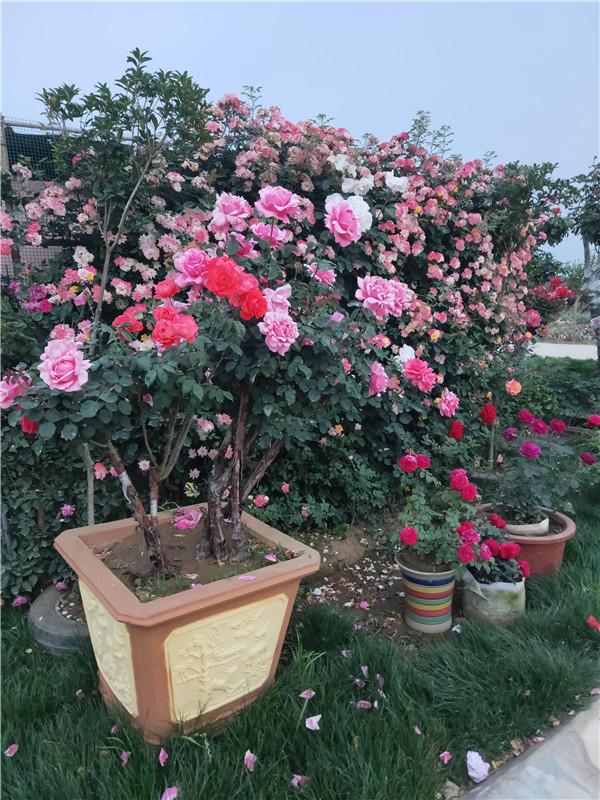 如何养护盆栽月季树?都有哪些方法可以用呢
