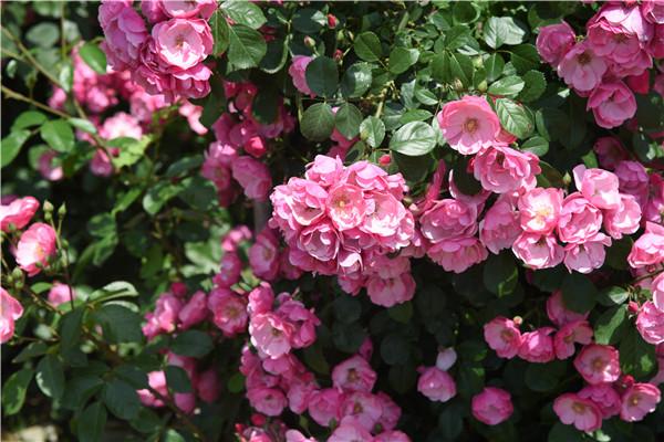 在阳台种植藤本月季,需要注意什么?