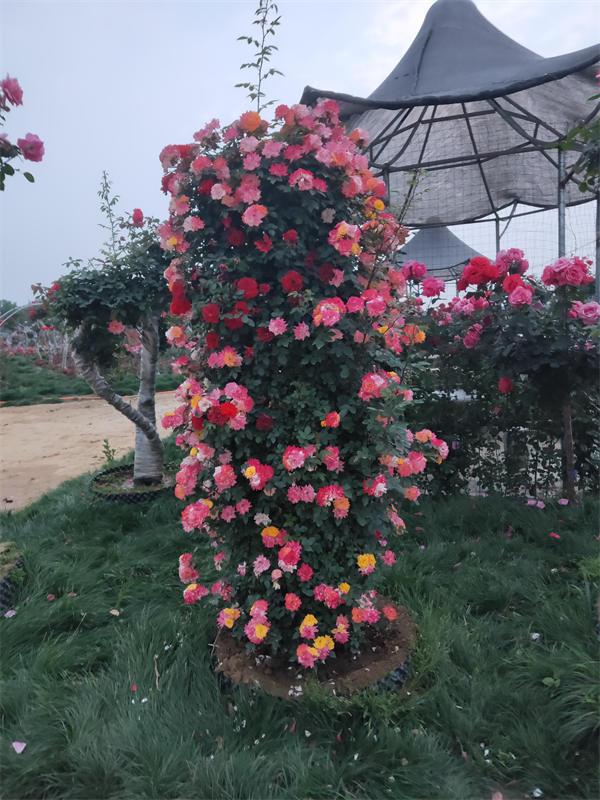 月季花柱种植