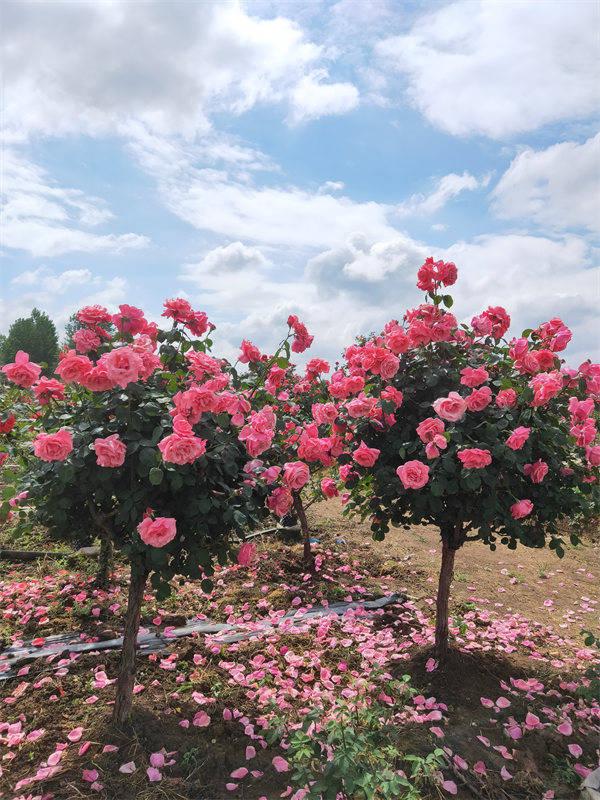 河南6-7公分月季树