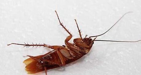 蟑螂的危害到底有多大?遇见蟑螂我们应该如何消灭他们?
