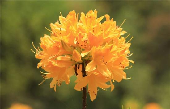 黄杜鹃种植基地