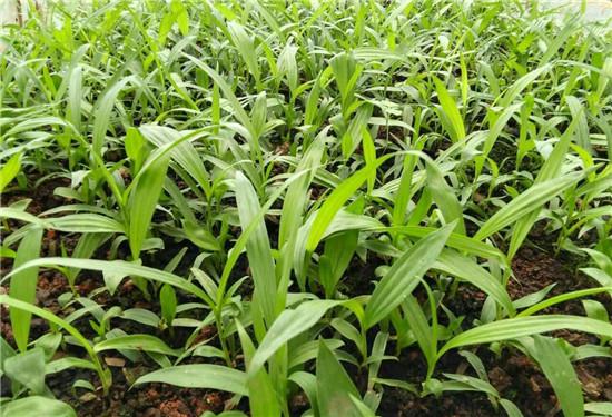 怎么更有效的在田间管理白芨种苗?绿丰源农业教你一定要多注意这5点。