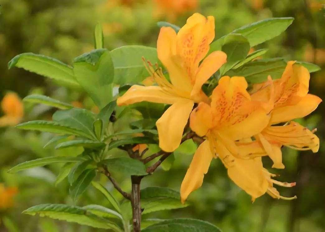 黄杜鹃种植
