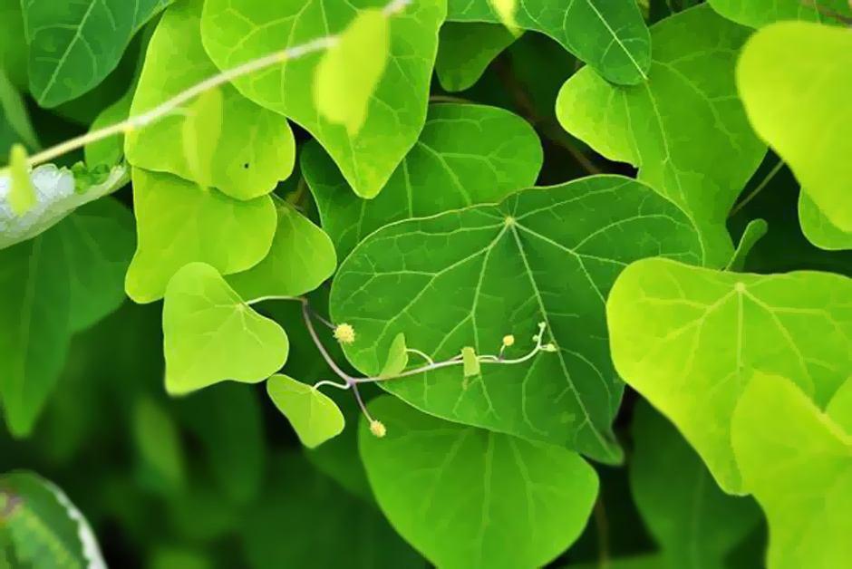 绿丰源不仅提供**的防己种苗,这3类种植方法更是值得参考学习。