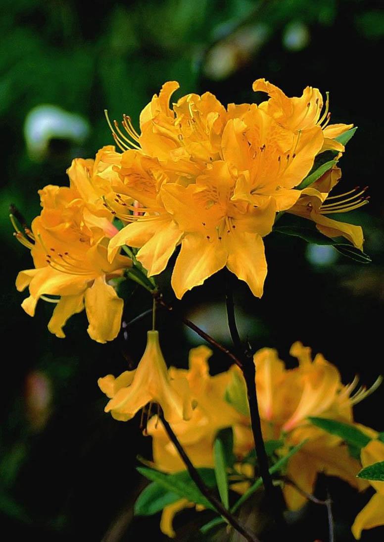 中药材料黄杜鹃-绿丰源厂家直供 种苗成品可选