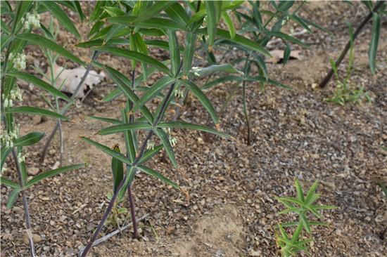 南召县绿丰源农业发展公司分享黄精种苗繁育需要如何进行