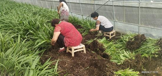 白芨种供应_苗绿丰源中药材种植基地