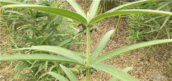 绿丰源为你详细的介绍黄精种苗种植注意事项