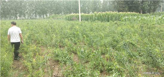 黄精种苗播种和管理教程,绿丰源为你详细讲解